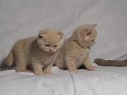 Шотландский кремовый котенок - мальчик