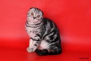 Шотландские котята питомник Diamand-cat