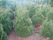 Туя западная,  самшыт, кипарисовик,  можевельник для озеленения