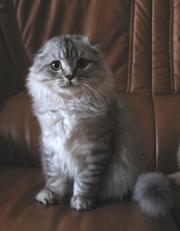 Котенок полудлинношерстный вислоухий (Хайленд Фолд)