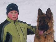 пропоную щенята німецької вівчарки чистокровні довгошерстні