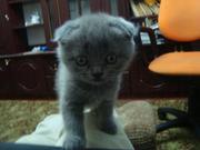 Скотиш-фоулд котята с доставкой по Украине