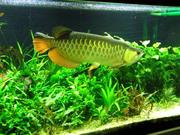 Великолепный Идеальный аквариум свободно хороший дом arowana