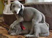 Веймарская легавая щенки !