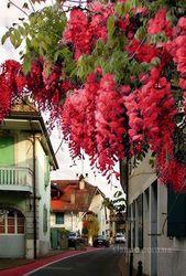 Глициния (wisteria floribunda),  саженцы,  растения открытого грунта