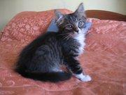 Сибірський котик. 2 місяці