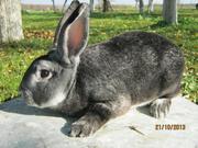 кролики шиншилла-рекс