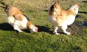 Инкубационное яйцо кур породы-Фавероль