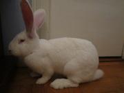 продаю племінних кролів білі велетні і каліфорнійців