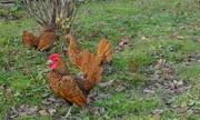Инкубационные яйца породы Сибрайт золотой