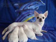 ЧИХУАХУА - породные,  эксклюзивные,  белые щенки!