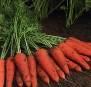 Продам моркву від виробника великим оптом.