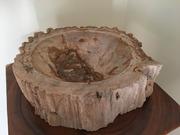 Одеса шикарна раковина,  що Окам'яніла,  з дерева буде дуже красивим доп